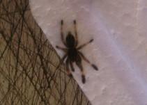 Viajaba con 70 arañas de GDL a EUA