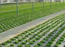 Continúa incrementando el precio de las hortalizas