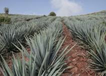 Robo de agave incrementó en Jalisco este año