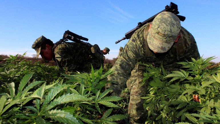 Militares aseguran plantío de marihuana en Mascota