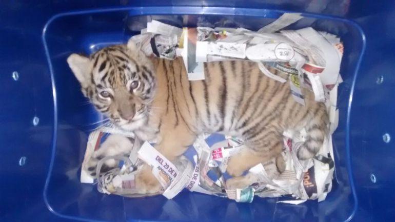Mandan tigre de bengala por paquetería