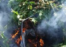 Destruyen plantas de amapola en Tuxpan