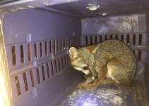 Rescatan a un zorro en la colonia Analco