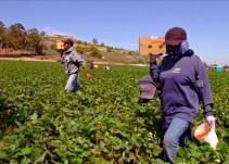 STPS supervisa campos de berries para garantizar trato digno a trabajadores