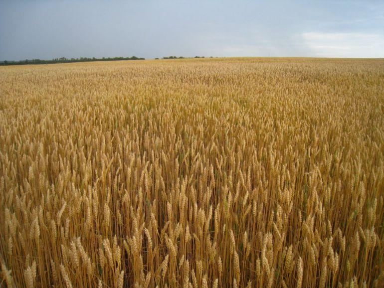 Productores de trigo analizan la posibilidad de dejar de sembrar