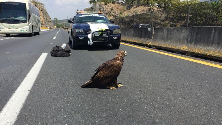 PROFEPA asegura a un águila real atropellada