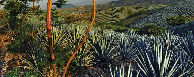 Industria del Tequila saldrá bien librada pese a TLC: CNIT
