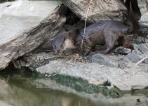 Primera reproducción de nutrias en cautiverio en Guadalajara