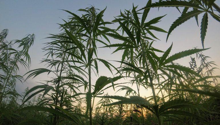 Plantíos de marihuana hallados en Tequila