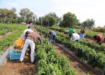 Algunos migrantes encontraron trabajo en el campo de Jalisco