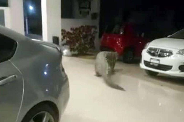 Capturan cocodrilo dentro de una agencia en Puerto Vallarta