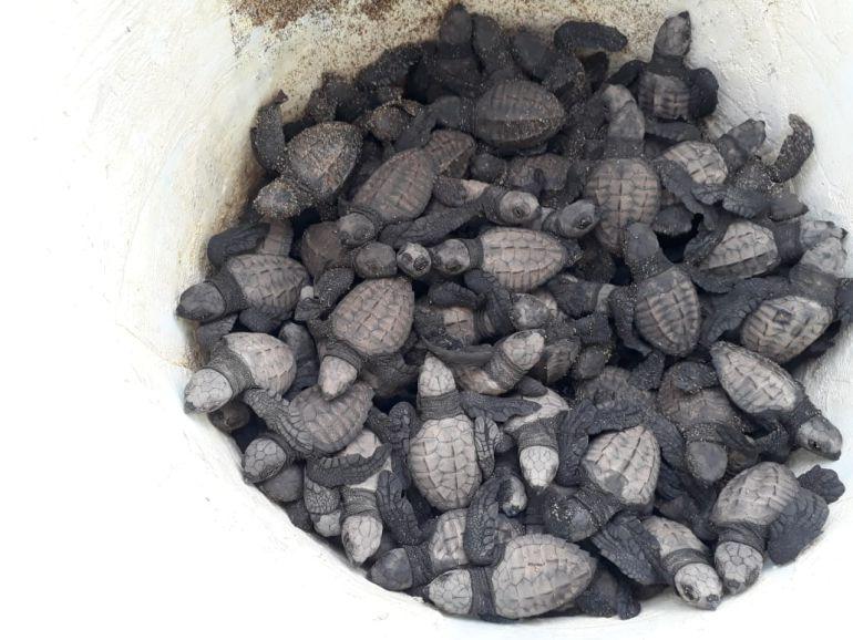 Nacen más de 100 tortugas marinas en Puerto Vallarta
