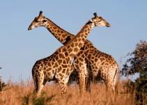 ¿Sabes por qué las jirafas tienen el cuello tan largo?