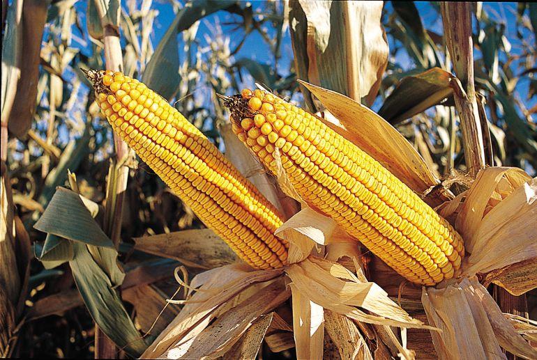 """""""El desarrollo del arroz dorado no está completo"""": Greenpeace"""