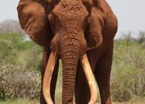 #AsíSopitas: Cazadores matan al elefante más emblemático de Kenia