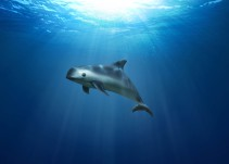 La vaquita marina: ¿Por qué urge salvarla?