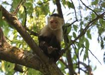 """Tras captura del mono capuchino, """"Merecería estar en una área más libre que permitiera que el animal se rehabilitara"""""""