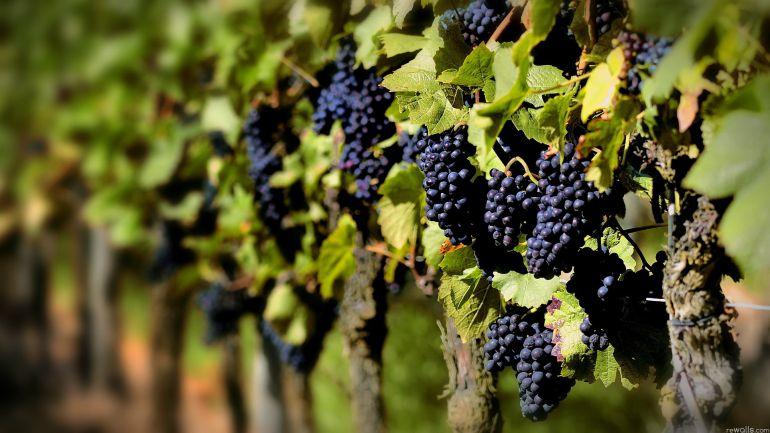 La cosecha de vino de 2017 una de las más bajas