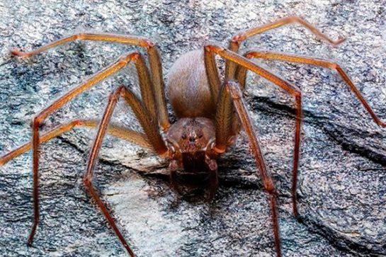 New species of venomous spider Loxosceles tenochtitlan discovered 1575472030_012043_1575473149_sumario_normal