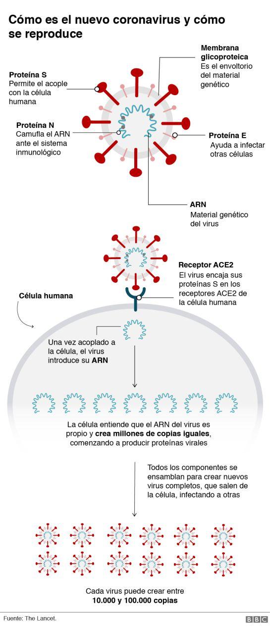 ¿Qué hace el coronavirus con nuestro cuerpo?