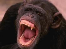 Prohibido hablar de política: Chimpancés cineastas