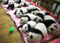 China te paga por abrazar bebés pandas