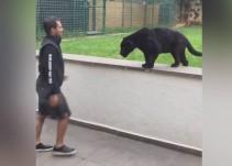 Pantera se lanza hacia un hombre sin ninguna protección