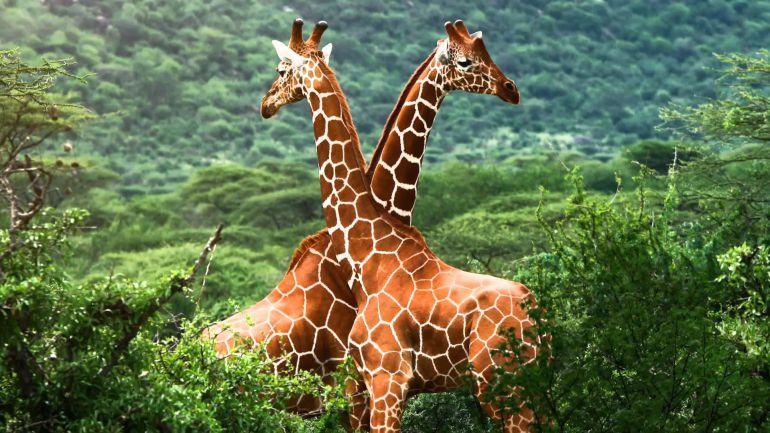 Las jirafas han dado un paso a la extinción