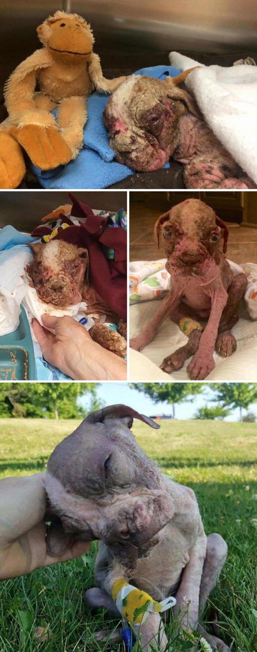 Estaba demacrado, deshidratado  e infestado de parásitos, fue salvado por el Hospital Veterinario de Pensilvania