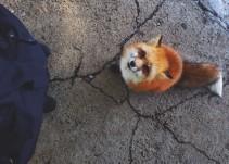 Así es una visita al pueblo de los zorros en Japón