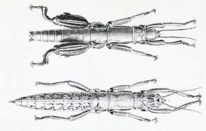 El insecto más raro del mundo vive en una pirámide en el mar