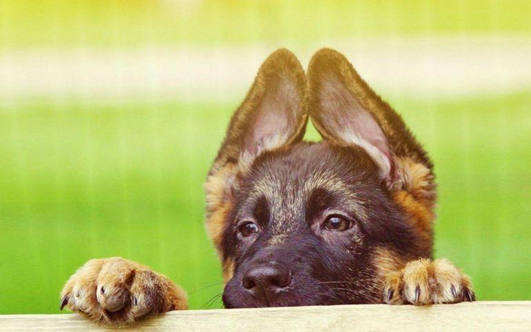 Razones por las que no le debes cortar la cola y las orejas a tu perro