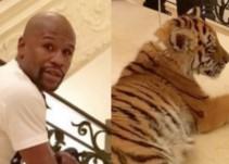 """Mayweather pasea en Rusia con dos tigres como """"mascotas"""""""
