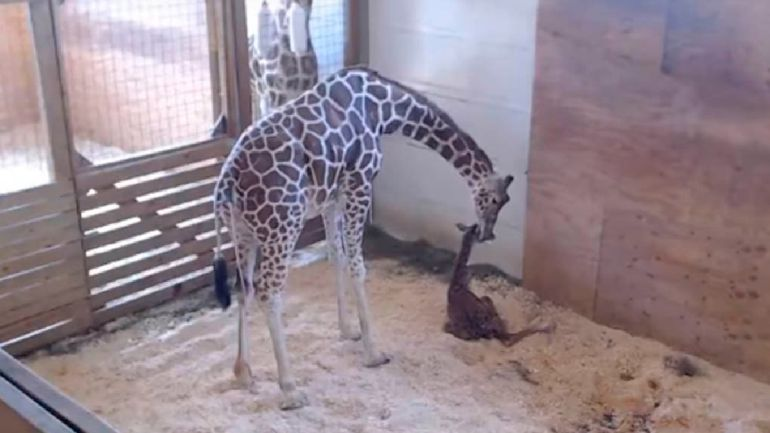 Zoológico de Nueva York transmite parto de la popular jirafa April