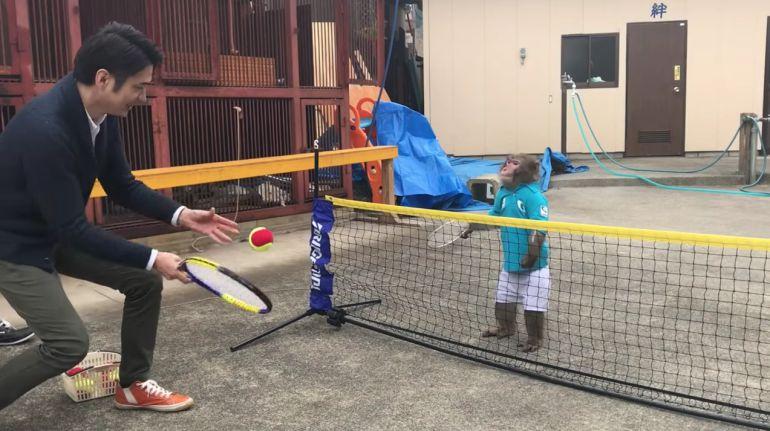 Un japonés entrena a su mono para que juegue tenis con él
