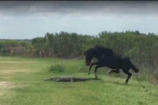 [VIDEO] Caballo defiende a su manada de un caimán