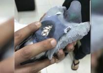 Paloma que transportaba droga fue capturada por la Policía