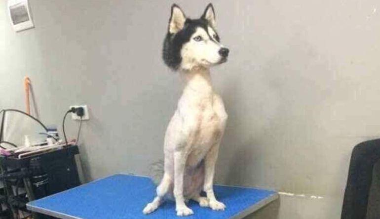 Husky siberiano causa sensación en redes sociales