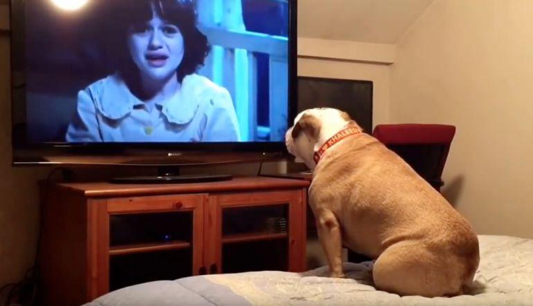 [VIDEO] Así reacciona un perro bulldog al ver películas de terror