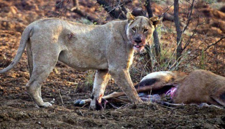 Esta es la reacción de una leona al darse cuenta que su presa estaba embarazada