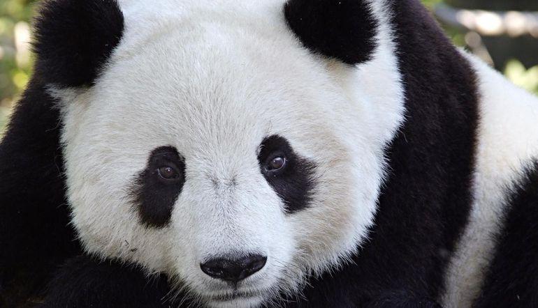 Panda da a luz a gemelos