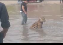 Joven pasea a su tigre en río de Chihuahua