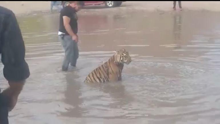 Río Sacramento:: Joven pasea a su tigre en río de Chihuahua