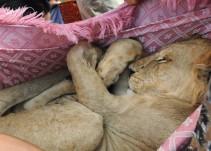 Rescatan a león enjaulado en azotea de la CDMX