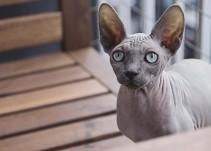 [Video] Pequeño gato 'esfinge' causa asombro en Instagram