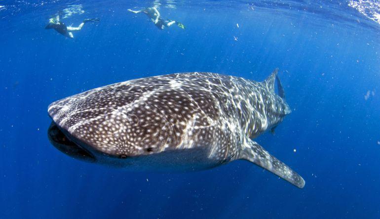 [Video] Jóvenes utilizan un tiburón ballena como 'tabla de surf' y causan indignación en redes