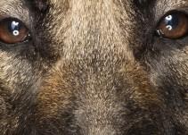 Layka, la perrita que salvó a militares en Afganistán