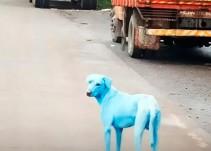 El dramático caso de los perros azules en la India