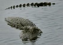 [VIDEO] Dos cocodrilos nadan en un jardín inundado en Texas