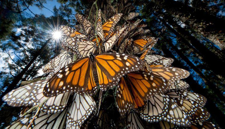 [Video] Este es el motivo por el que la mariposa Monarca migra a Michoacán
